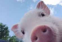 伊斯兰教为什么不吃猪肉(揭秘伊斯兰教不吃猪肉内幕)