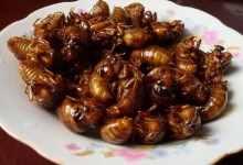 蝉的幼虫叫什么学名(解读蝉的幼虫学名及其作用)