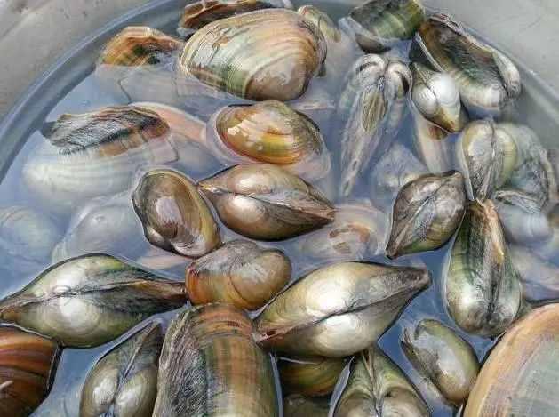 河蚌都吃些什么?要如何养殖河蚌?