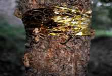 金蝉的养殖方法和注意事项(一文解读其养殖技巧及注意事项)