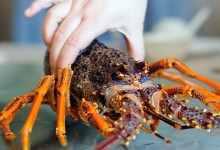 澳洲大龙虾的做法与杀法(一文解说其做法与杀法)