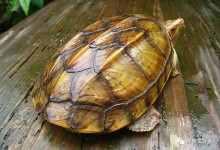 乌龟吃什么食物长得快(揭晓乌龟长得快的投喂技巧