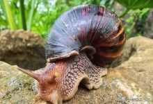 非洲大蜗牛为什么不能摸(带你全面了解非洲大蜗牛)