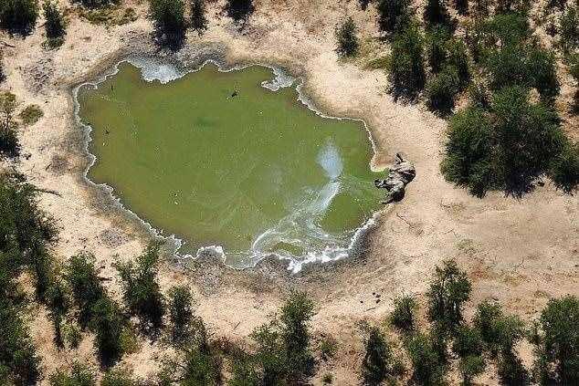 导致非洲大象死亡的蓝藻是什么东西?会威胁人类生命吗?