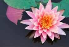 水培睡莲的养殖方法和注意事项(水培睡莲的4大养殖技巧)