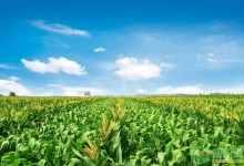 水果玉米价格多少钱一斤(水果玉米市场价及发展前景)