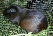 黑豚鼠养殖方法(黑豚鼠养殖技巧及利润分析)