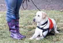 拉布拉多狗的训练有什么方法(如何正确训练拉