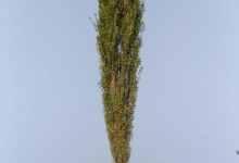 白杨树的特点和象征意义是什么?