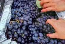 葡萄酒怎么做,葡萄酒制作流程!