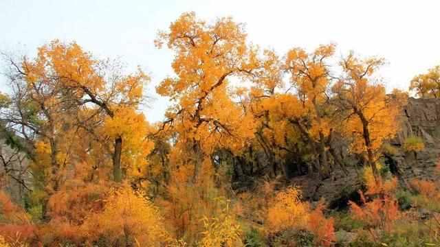中国金秋9大胡杨林,美到极致,竟有一半是在这个省份!