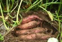 甘薯是什么?甘薯的营养价值与种植技术