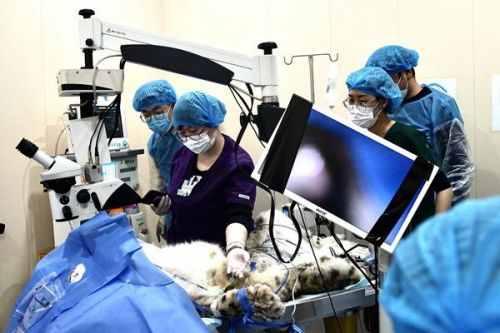 世界首例野生雪豹白内障手术最新消息 野生雪豹白内障手术现场