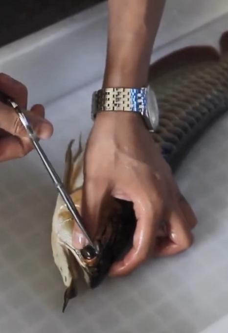 龙鱼眼睛整容千元一次具体内容揭秘 龙鱼整容师是谁干什么的