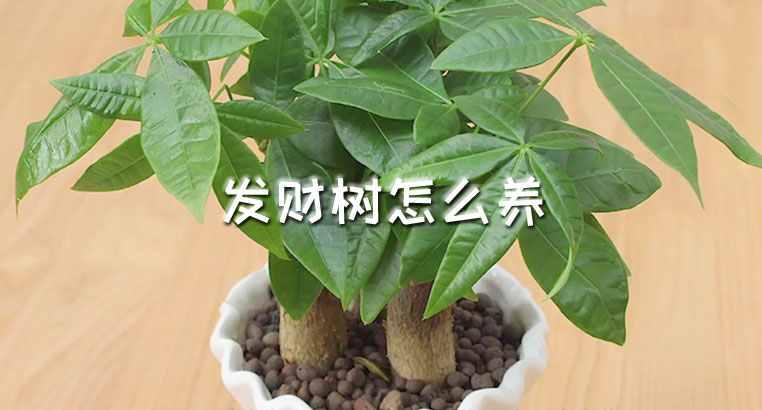 怎么养的好发财树 室内如何养好发财树