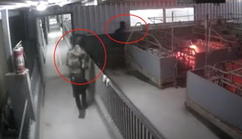 广西4男子持械抢70头种猪被刑拘 具体详情画面曝光令人不可置信