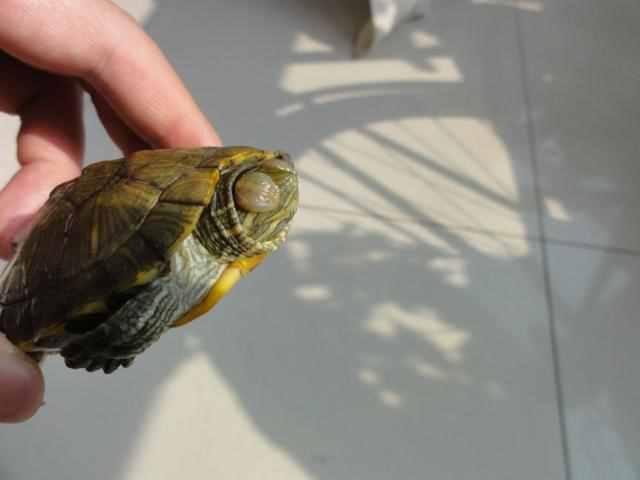 乌龟眼病?乌龟白眼病能自愈吗
