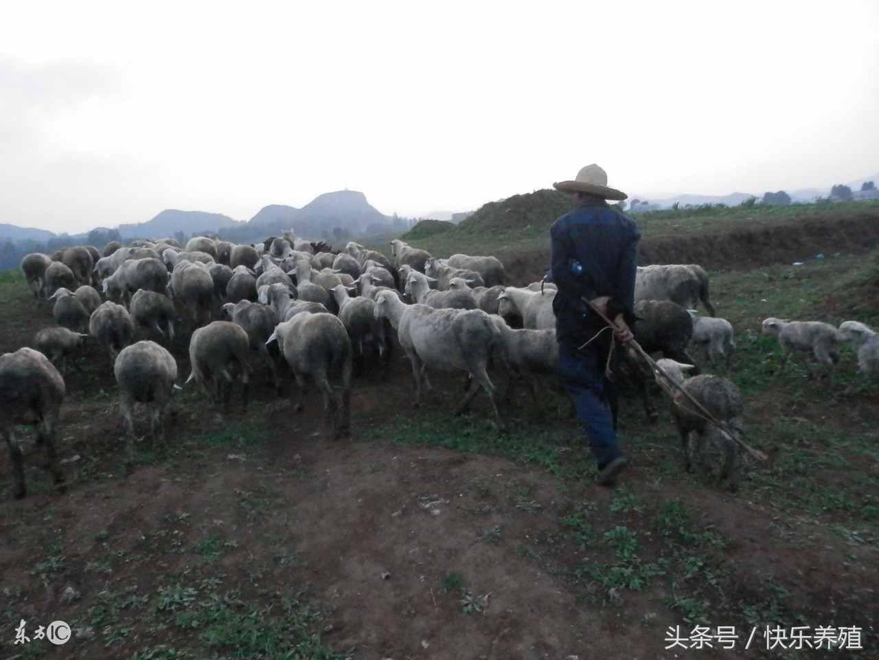 羊怎么赚钱?养羊一年能赚多少钱