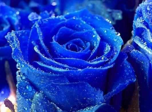 蓝玫瑰代表什么意思?蓝玫瑰的寓意和象征