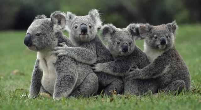 澳大利亚树袋熊?澳大利亚树袋熊图片