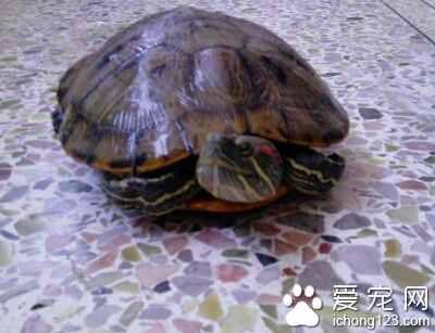 巴西龟冬天怎么养?巴西龟冬眠放水还是放沙