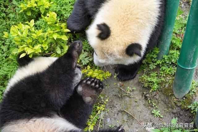 大熊猫生活在哪里?我国大熊猫生活在哪里