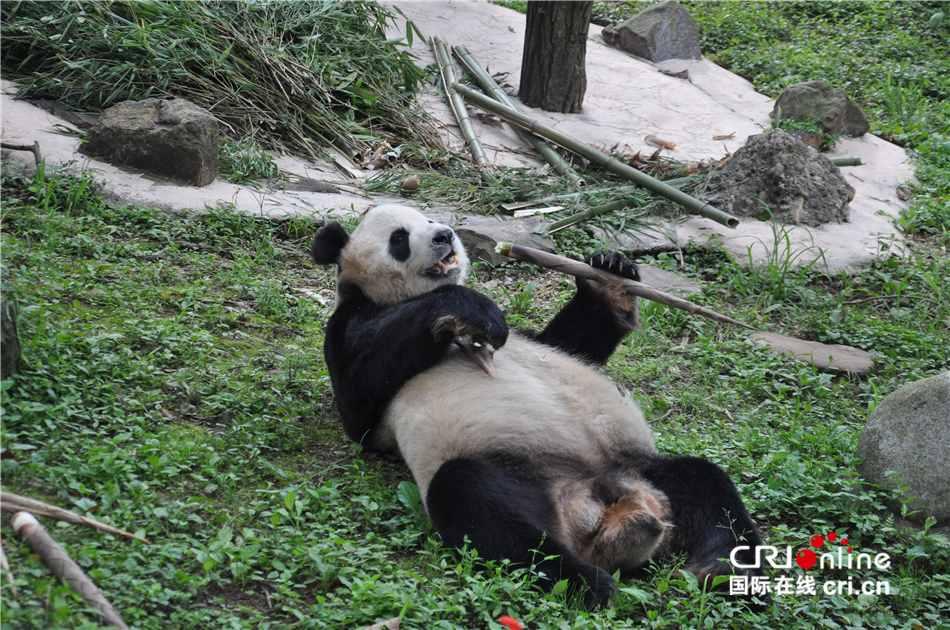 大熊猫的生活?大熊猫的生活方式