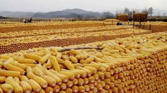 玉米怎么赚钱?玉米怎么卖才能多赚钱?