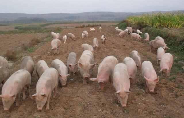 养猪怎么赚钱?养猪如何才能更赚钱?