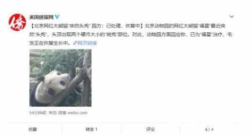 北京动物园网红大熊猫突然头秃怎么回事?网红大熊