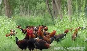 养鸡怎么赚钱?养鸡如何才能赚钱