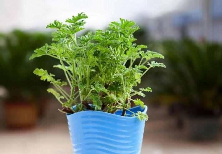 防蚊植物?7种驱蚊植物