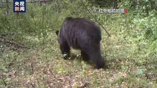 安岭,首次发现东北虎吃熊图像证据小兴:跟踪虎吃