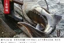 黑龙江鳇鱼价格及营养(浅谈水中熊猫的营养价值)