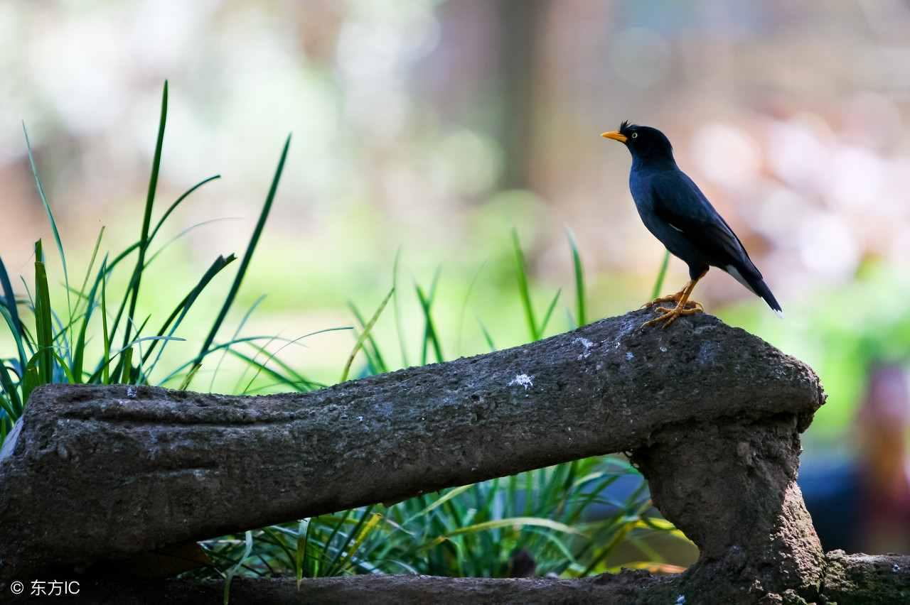 八哥吃什么食物 八哥鸟属于杂食性动物