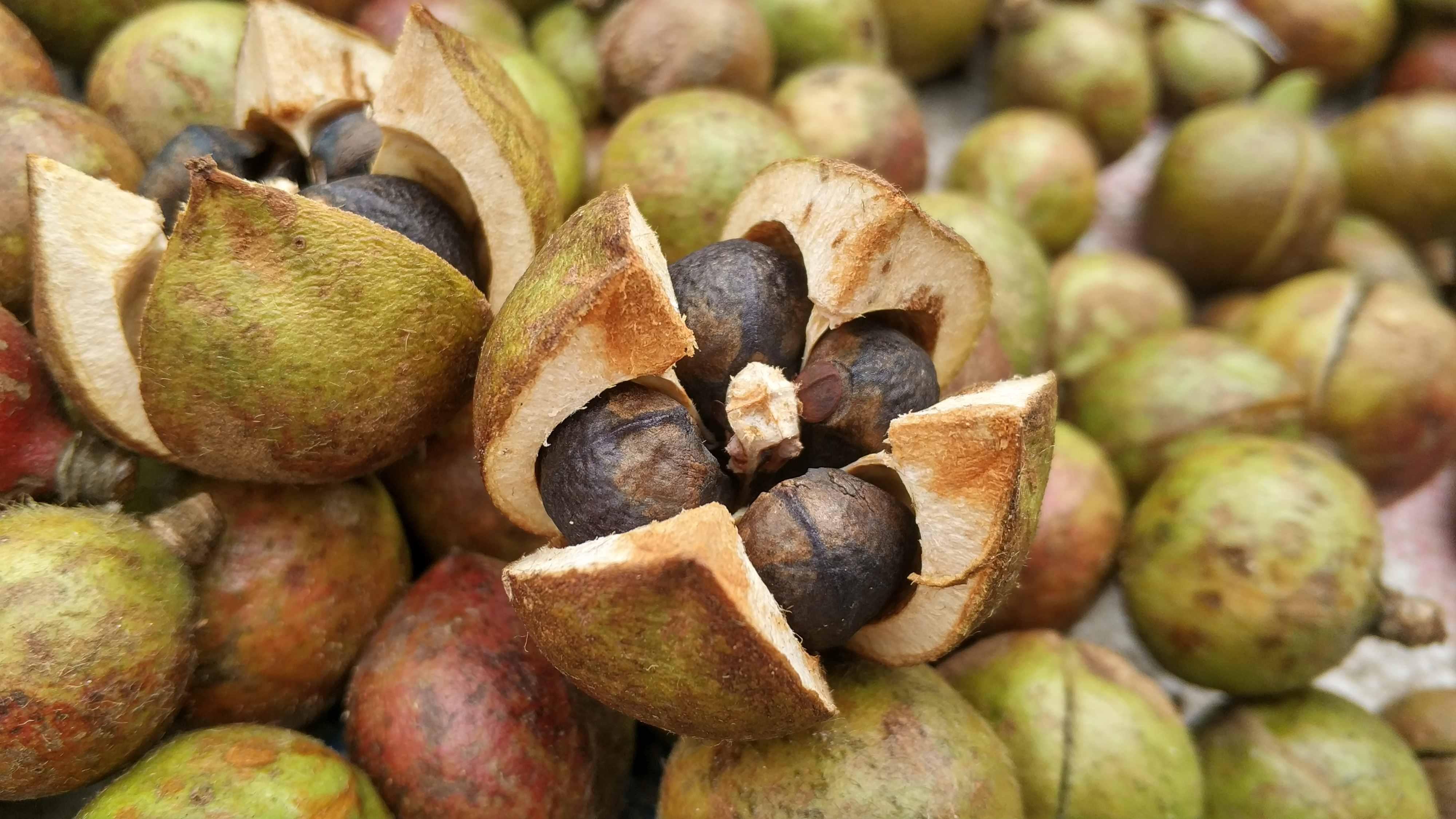 为什么山里人很少吃茶籽油?你猜一斤干茶籽能换多少斤菜籽油?