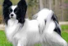 小型犬类品种大全图片(最受欢迎的8个小型犬品种)