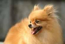 俊介犬和博美的区别是什么(5点简介两者区别及区分方法)