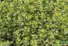 艾蒿是什么植物(艾蒿植物图片及功效解读)
