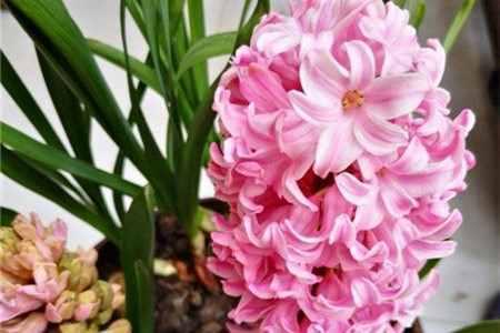 风信子的花语是什么呢?原来它的花语这么美丽