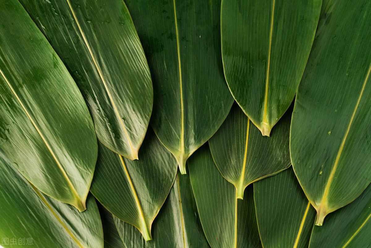 端午节都要吃粽子,你知道粽叶是什么制成的吗?如何种植呢?