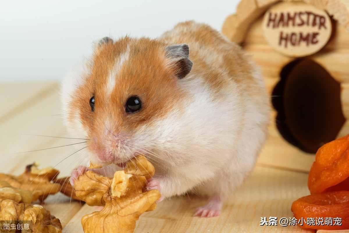 仓鼠吃什么最健康?这些东西,你还在用来喂仓鼠吗?